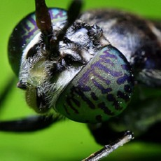 Black-Soldier-Fly-Courtesy-of-Sukarman-