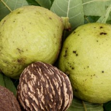 Fruits-of-black-walnut-tree