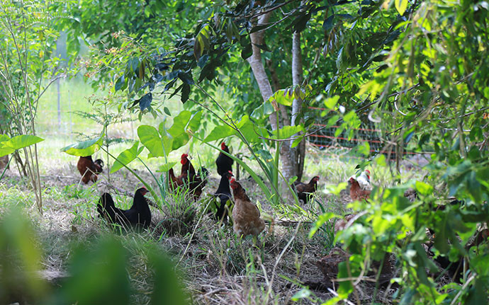 Chickens-in-Food-Forest33