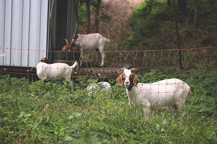 Goats-Permaculture-Animal-Systems44