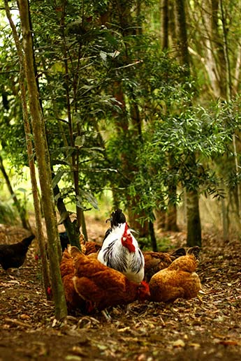 Permaculture-Chickens-in-Food-Forest22