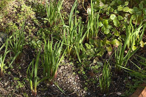 Garlic-Courtesy-of-Jessie-Hirsch01