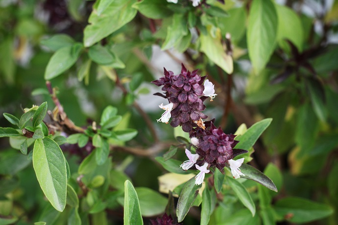 Holy basil in the garden