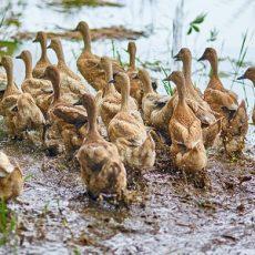 Many ducks on rice fields near Ubud, Bali, Indonesia