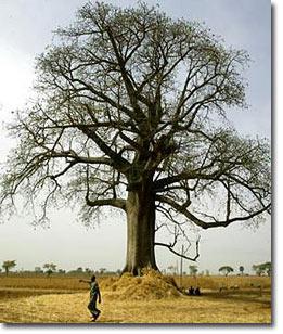 tree_mongongo01