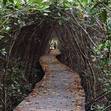 Wooden bridge through the mangrove reforestation in Petchaburi,Thailand