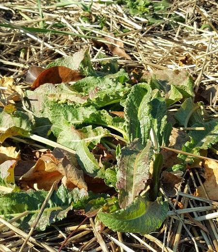 harvesting-on-homestead-06
