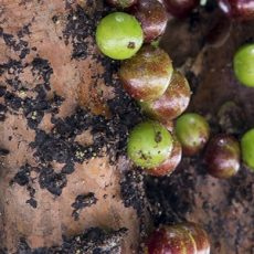 ripe and green jabuticaba fruit  on tree