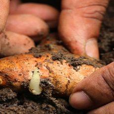 Planting turmeric in fertile soil