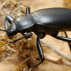 Darkling beetle in the desert, Israel