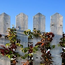 Batten fence with autumn multi-coloured leaves of grapes on a background of the blue sky