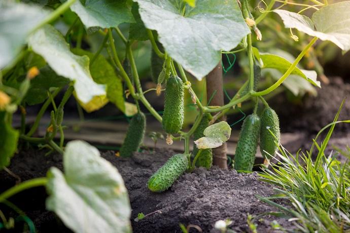 Closeup image of beautiful ripe cucumbers growing in garden